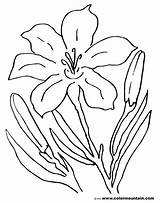 Lily Coloring Pages Flower Tiger Easter Stargazer Drawing Lilies Printable Sheet Amazing Lovely Awesome Getcolorings Calla Getdrawings Colormountain Activity Printout sketch template