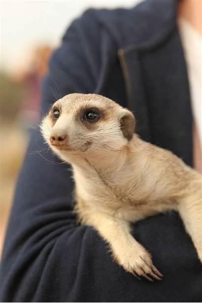 Week Funny Animals Animal Namibia Imgur Meerkat