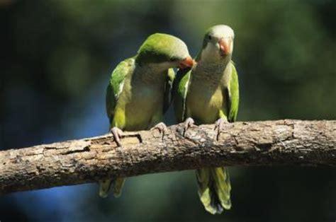 visual differences  male female quaker parrots