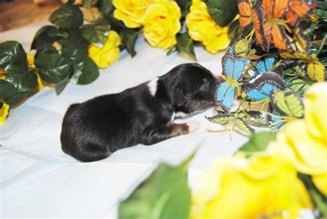 shamrock rose aussies   shamrock rose aussies  dont   puppies