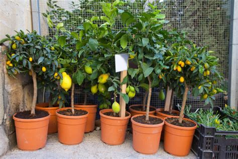 container gardening growing citrus farmers almanac