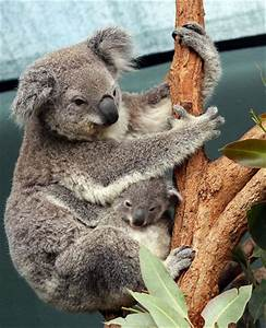 Core Recognizing Features of Koalas
