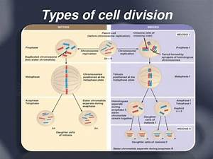 Cell Cycle Division Mitosis Beads Diagram