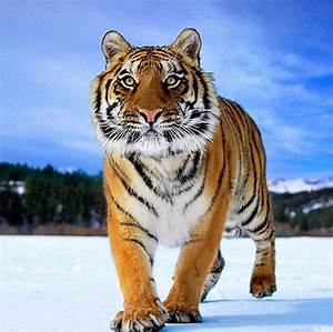 33 Fierce Tiger Pictures Collection | Siberian tiger ...