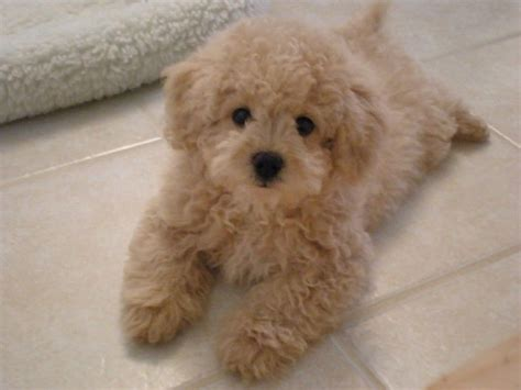 Beige Bichon Frise Cross Toy Poodle New Doggy