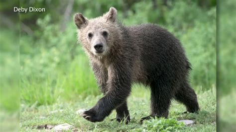 Bear Cub Killed In Hit And Run Accident