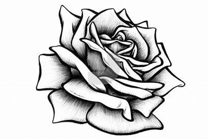 Rose Drawings Pencil Drawing Sketch Roses Drawn