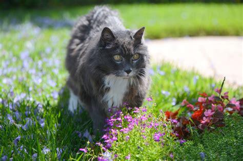 Männertreu » Giftig Für Katzen?
