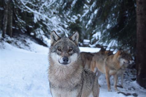Alpha Loup wolf park, Le Boréon, France
