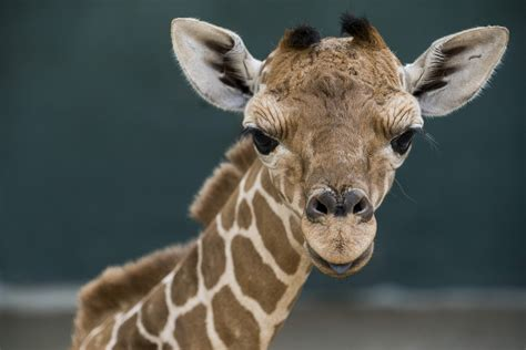 Meet Patty, The New Baby Giraffe At Busch Gardens