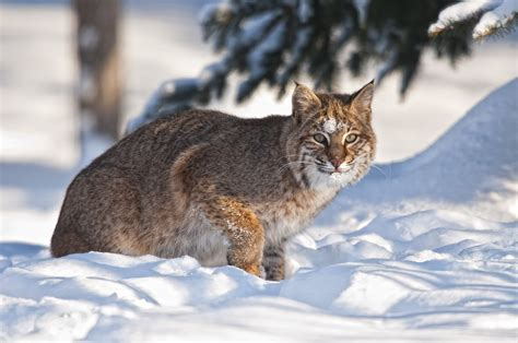 bobcat hd hd desktop wallpapers  hd