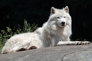 arctic wolf facts  kids arctic wolf interesting facts