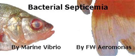 fish aeromonas vibrio disease septicemia pop eye
