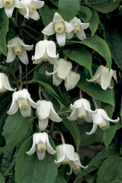 Buy Clematis (group 1) Clematis Urophylla 'winter Beauty