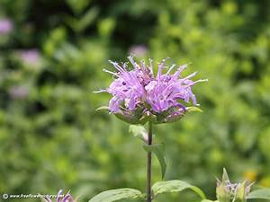 Bee balm pictures,Bergamot pictures