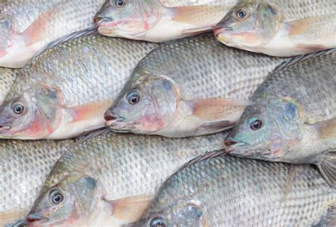 aquaculture  threatening  native fish species
