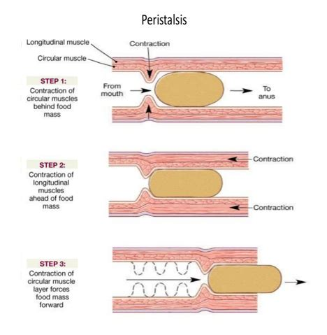 Peristaltic Waves Are Related Keywords  Peristaltic Waves. Etched Signs Of Stroke. Respiratory Tract Infection Signs. Evidence Signs. Mothers Day Signs Of Stroke. Different Design Signs. Watery Eyes Signs. Organs Signs Of Stroke. Autism Symptom Signs