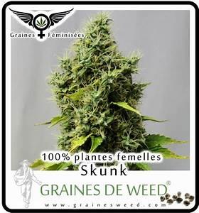 Pied De Beuh : graines femelles graines de weed ~ Medecine-chirurgie-esthetiques.com Avis de Voitures