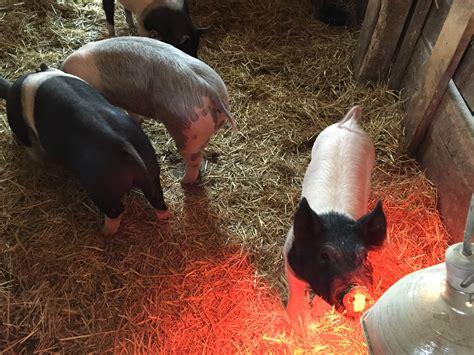 heat ls for pigs frying pan farm animals little fat notebook