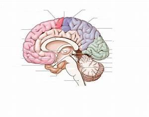 Diagram Of Inside Of Brain