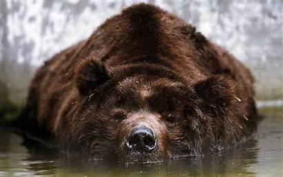 Bear Sleeping Brown Animals Wallpapers Bears Desktop