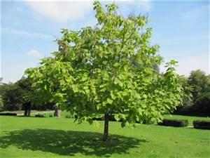 Arbre à Croissance Rapide Pour Ombre : arbre d ombrage pour petit jardin 6 arbres qui sont ~ Premium-room.com Idées de Décoration