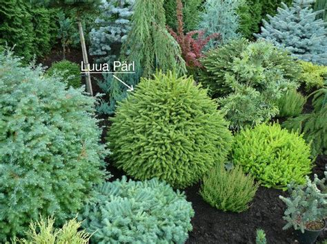 small evergreen shrubs dwarf conifers i love the different blues and greens and yellows not to mention the beautiful