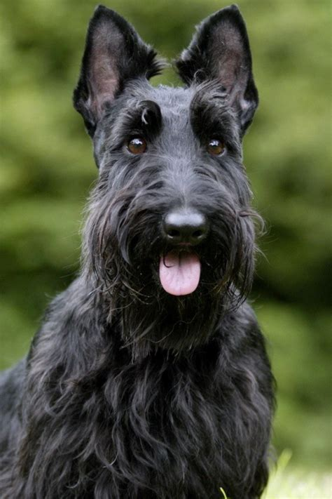 scottish terrier desktop wallpapers