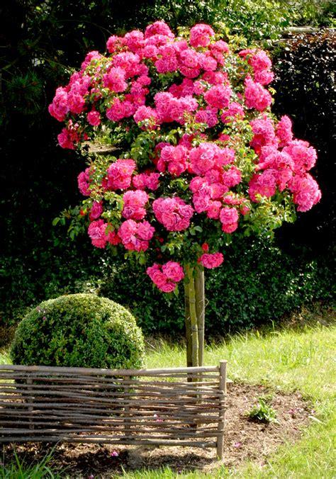 rosier tige et rosier pleureur planter et tailler ooreka