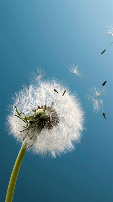 Aesthetic Iphone 7 Plus Wallpaper aesthetic dandelion blowing blue sky macro iphone 6