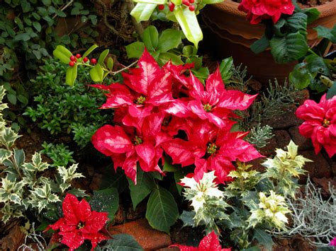 popular outdoor plants popular christmas plants and flowers