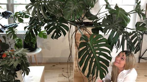 Transplanting Large Indoor Plants