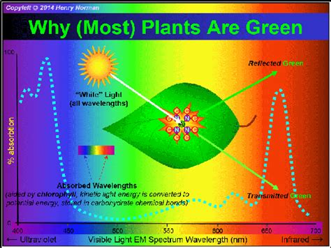Why Does Chlorophyll Make Plants Appear Green?