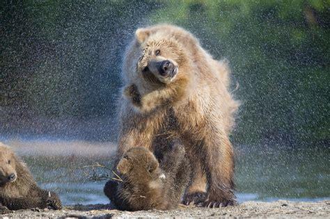 wallpaper bears water wash national geographics