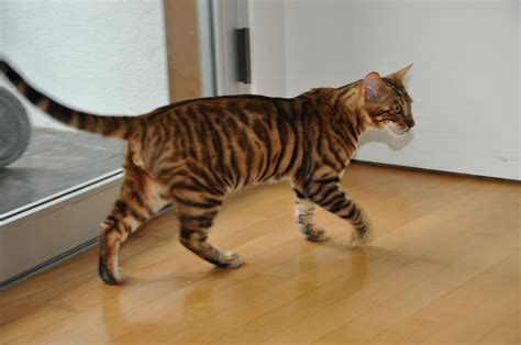 cat that looks like a tiger toygers it s a complete outrage