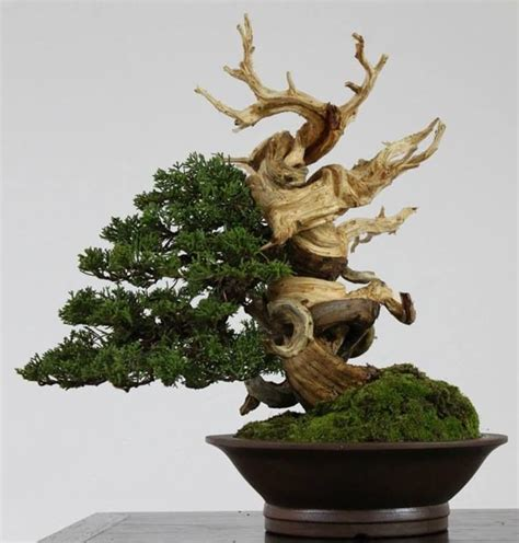 images  deadwood  bonsai  pinterest