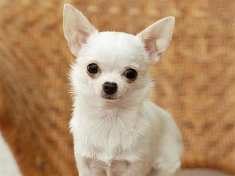Chihuahua Dog Breed Information Pictures And More