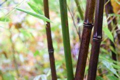 Wie Schnell Wächst Bambus : schwarzer bambus wissenswertes zu den rhizomen ~ Frokenaadalensverden.com Haus und Dekorationen