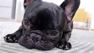 Hundebekleidung Französische Bulldogge : geht es kn del gut qualzucht franz sische bulldogge youtube ~ Frokenaadalensverden.com Haus und Dekorationen