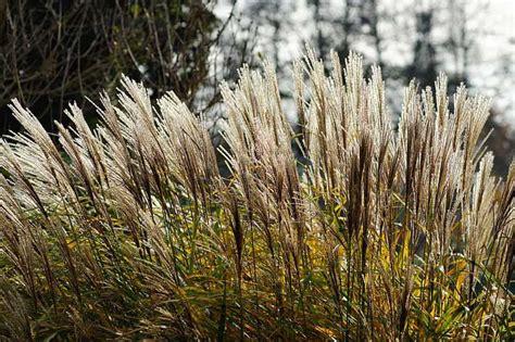Gräser Im Garten
