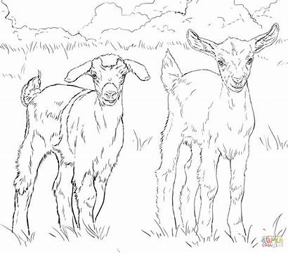 Coloring Goats Goat Pages Nubian Boer Drawing