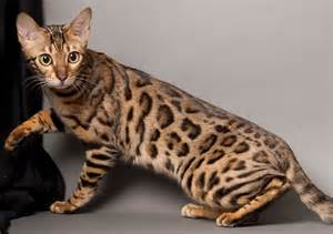 expensive cats bengal cat one of the world s most expensive cat