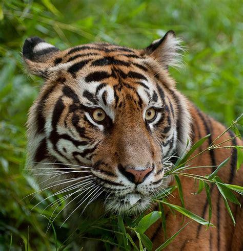 Sumatran Tiger  Discover Akron Zoo's Tiger Valley