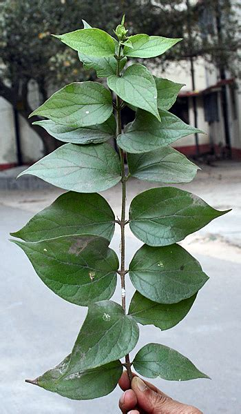 plant pictures file leaves of the parijat plant nyctanthes arbor tristis kolkata india 20070130 jpg