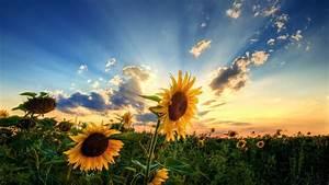 Landscapes, Nature, Sunlight, Sunflowers, 1920x1080, Wallpaper