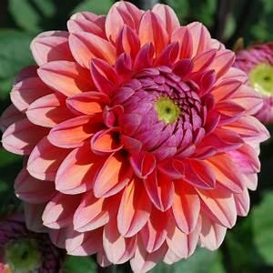 Dahlia 'Daisy Duke' - Rose Cottage Plants