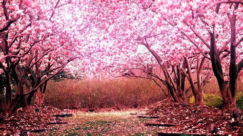 blossomed tree cherry blossom tree for your garden cherry tree pinterest cherry blossoms blossom trees