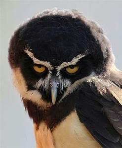Spectacled owl. | Owls. | Pinterest