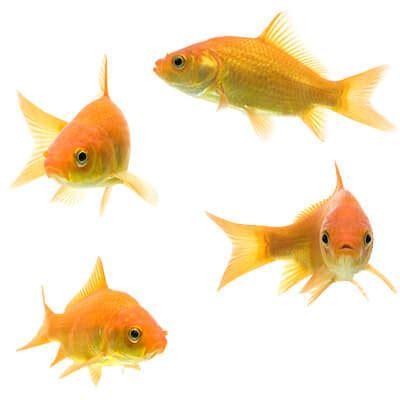 goldfish tank mates  share  habitat