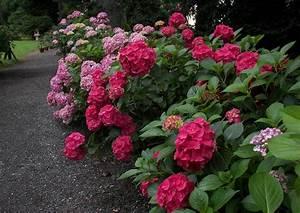 Sind Hortensien Winterhart : pirna zuschendorf 04 hydrangea macrophylla die gartenhortensie ~ Orissabook.com Haus und Dekorationen